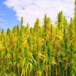 TDA Hemp Production Plan Part I- License Requirements