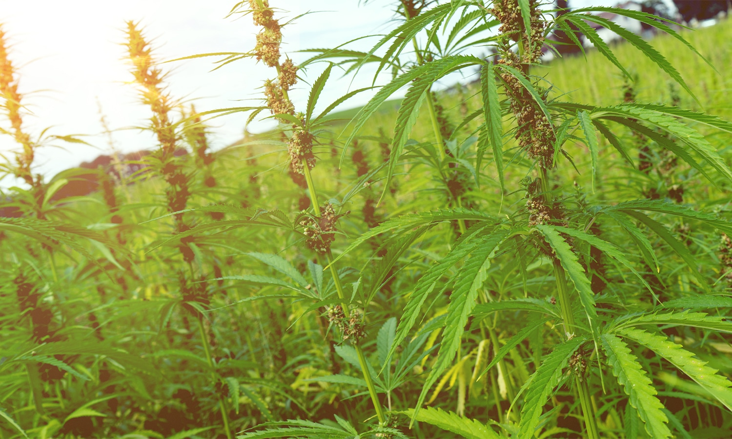 What To Look For In A Hemp Lawyer